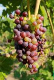 Purple grapes in vine Royalty Free Stock Image