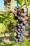 Purple grapes in vine Royalty Free Stock Photography