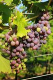 Purple grapes in vine Stock Image