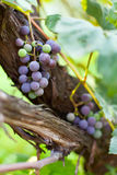 Purple grapes on a vine, closeup Royalty Free Stock Photos