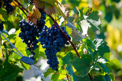 Purple grapes on a vine Stock Photography