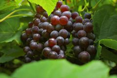 Purple grapes on the vine Stock Photography