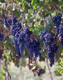 Purple grapes on vines Royalty Free Stock Photo