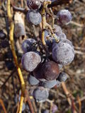 Purple grapes on vines in fall. Wild purple grapes covered in frost on the vines in Northern Michigan,USA Royalty Free Stock Photography