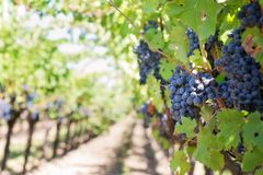 Purple Grapes, Vineyard Royalty Free Stock Photo