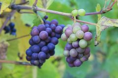 Purple grapes in a vineyard in Luxembourg stock image