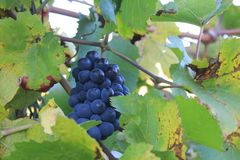 Purple grapes in a vineyard in Luxembourg stock photos