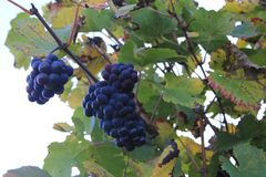 Purple grapes in a vineyard in Luxembourg royalty free stock photos