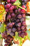 Purple Grapes In Vineyard For Wine Royalty Free Stock Photos