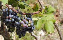 Purple grapes in vineyeard. Stock Image