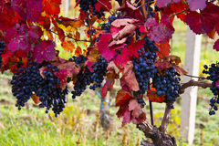 Purple grapes in wine yard, autumn Royalty Free Stock Photography