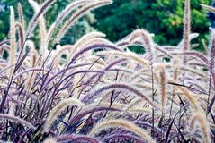 Purple grass. Purple and tan grass in a garden stock photos