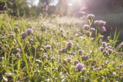 Purple grass flower closeup with sunlight in nature background stock image
