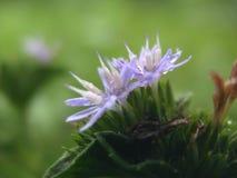 purple grass flower Stock Photos
