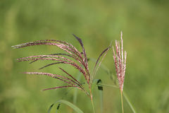 Purple grass Royalty Free Stock Images