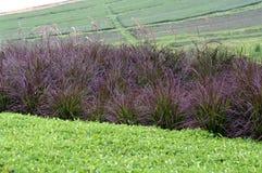Purple grass pennisetum on green tea farm Stock Image