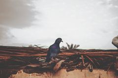 Purple and Gray Pigeon Perched on Brown Roof Royalty Free Stock Photo
