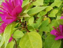 Bougainvilleas flowers in purple color royalty free stock photography