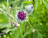 Purple greater burdock flower. With prickles Stock Image