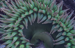Purple and Green Anemone Tentacles Stock Photography