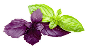 Purple and green basils isolated Stock Photo