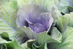 Purple green cabbage in the garden. Stock Images