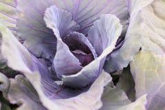 Purple green cabbage in the garden. Stock Photos