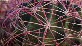 Purple and Green Cactus - Close Up royalty free stock photo