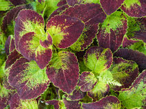 Purple and green coleus leaves Royalty Free Stock Photos