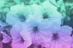 Purple and green color backgrounds with flowers , soft focus of beautiful flowers with color filters.  royalty free stock photography