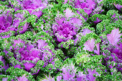 Purple & green color of lettuce Stock Photos