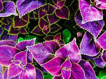 Purple And Green Decorative Garden Leaves royalty free stock photography