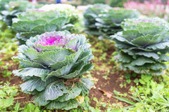 Purple and green decorative ornamental cabbage in a botanical ga Royalty Free Stock Photography