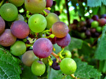 Purple and green grapes. Bunches of purple and green grapes on leafy tree or vine Stock Photos