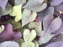 Purple and green heart-shaped leaves Stock Images