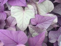 Purple and green heart-shaped leaves Royalty Free Stock Images