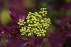 Purple green impression. A shrub with purple leaves, and a non-blooming pale green grape royalty free stock image