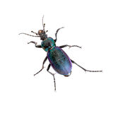 Violet ground beetle, beautiful insect isolated on white. Stock Photos