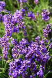 Purple and green lavender flower field. Deep purple flowers on lavender spikes, green background with copyspace, plant has medicinal qualities, health benefits royalty free stock image