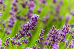 Purple and green macro shot of colorful lavender plants. royalty free stock photos
