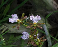 Purple, Green And Maroon Oncidium Orchid Stock Photography