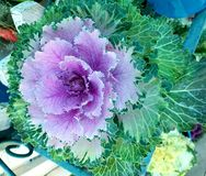 Purple and green Ornamental cabbage