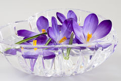 Fresh crocus spring flowers in a bowl of water Stock Photos