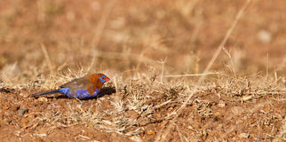 A Purple Grenadier on the ground. The Purple Grenadier (Uraeginthus ianthinogaster) is a seed feeding finch which finds it´s food mainly on the ground of the royalty free stock photo