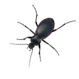 Purple ground beetle - carabid Stock Image