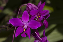 Purple ground orchids Royalty Free Stock Photography