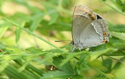 A stunning Purple Hairstreak Butterfly Favonius quercus searching for moisture deep down in the undergrowth on the ground. A Purple Hairstreak Butterfly Stock Image
