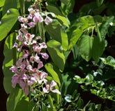 Hawaiian Hanging Tropical Flowers. Purple hanging flowers from Hawaii stock photos