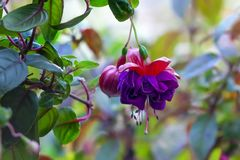 Purple hanging Fuchsia flowers. A Purple and pink hanging fuchsia flower stock images