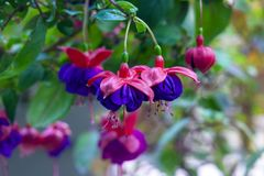 Purple hanging Fuchsia flowers. A Purple and pink hanging fuchsia flower royalty free stock photo